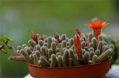 propagate rattail cactus