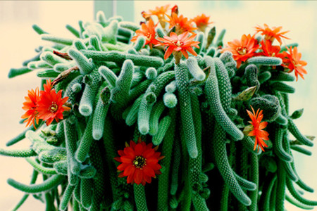 care for rattail cactus.