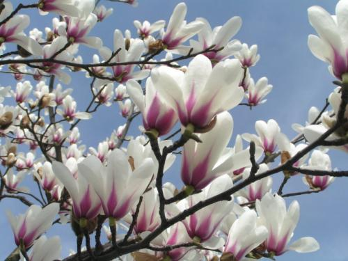 Dogwood is one of the best trees to grow in the backyard