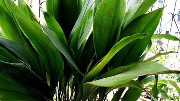 Cast-iron plant profile