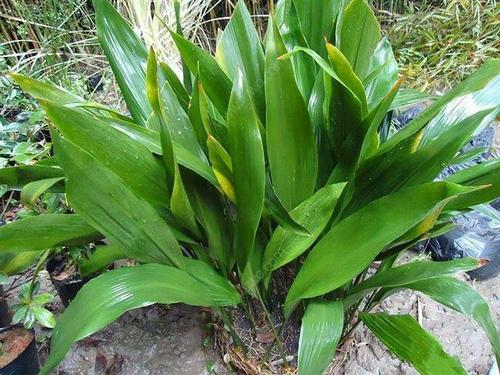 propagate Cast-iron plants
