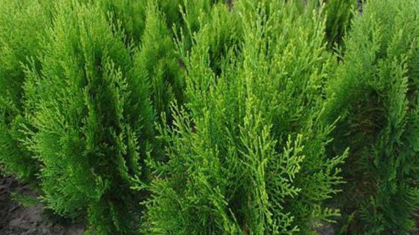 Arborvitae profile