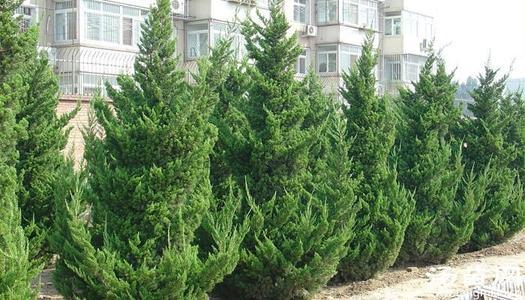 care for Arborvitae