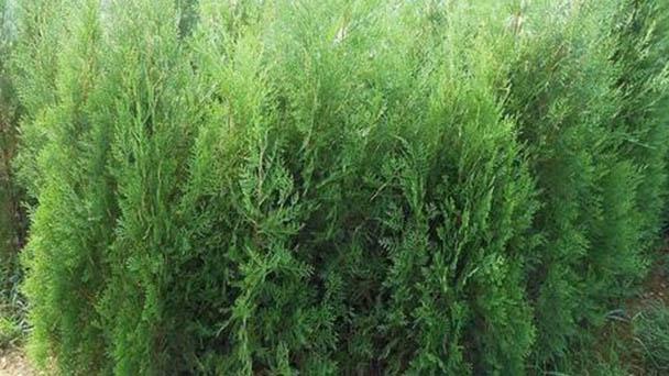 How to propagate Arborvitae