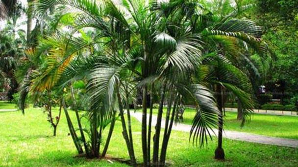 Areca palm profile