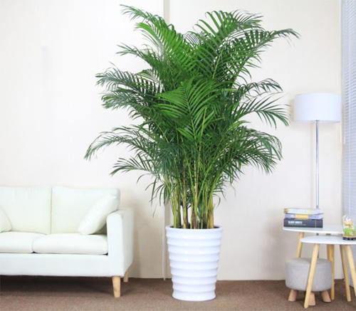 Areca Palm care