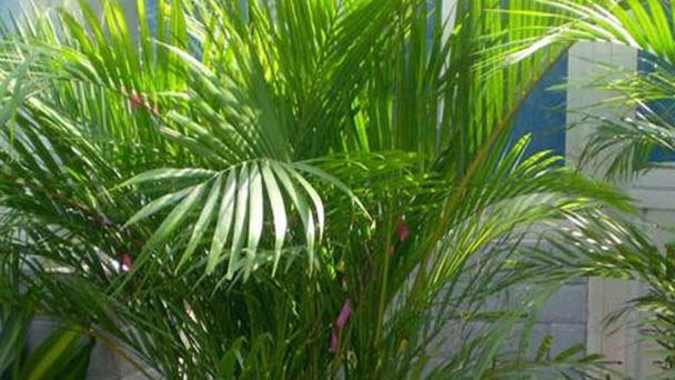 Areca palm: plant growing and caring guide