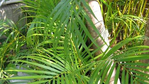 Areca palm plant care