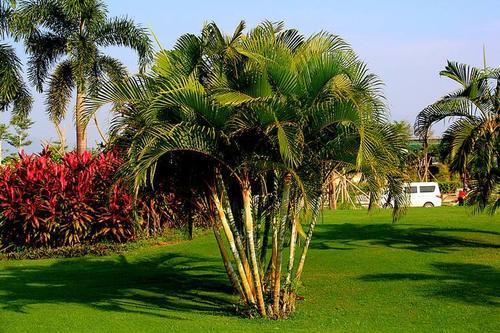 care for Areca palm
