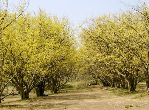 care for Asiatic dogwood