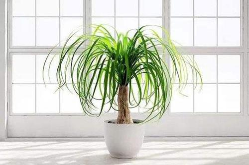 Ponytail palm care guide
