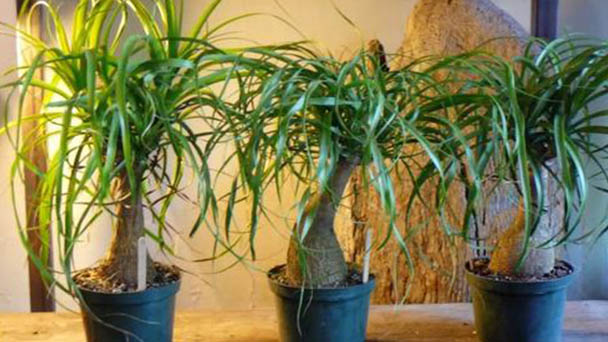How to grow and care for Ponytail palm