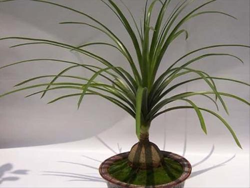 Ponytail Palm care