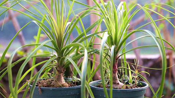 How to propagate Ponytail palm