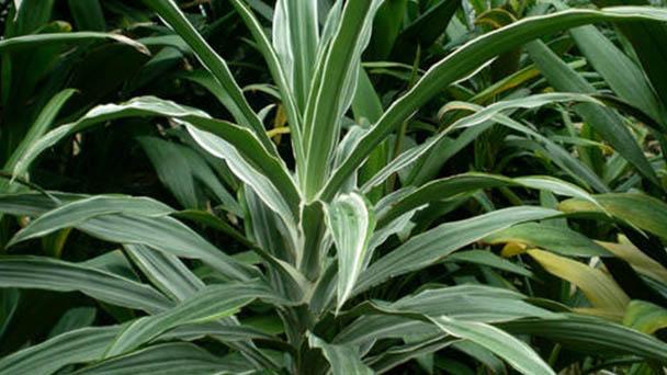 Corn plant profile