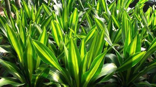 How to propagate corn plant