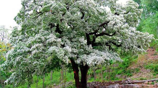 Fringe tree profile