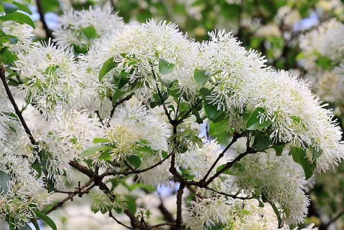 care for fringe tree.