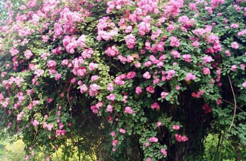 Lady Banks' Rose's propagation methods