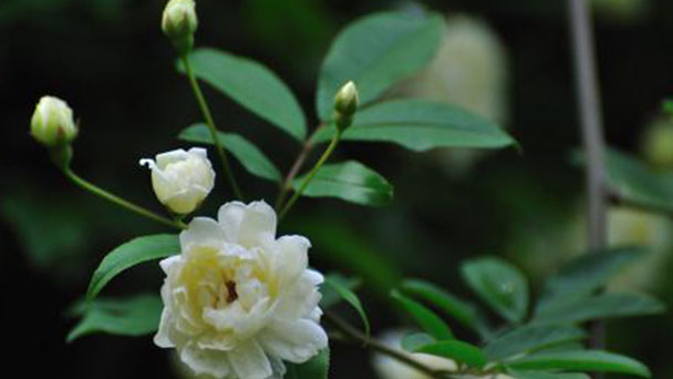 How to propagate lady banks rose