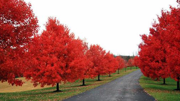 How to propagate sun valley maple