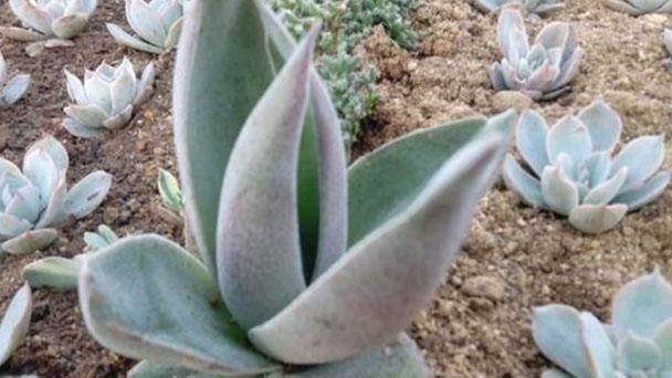 How to grow and care for vertical leaf senecio