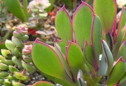 care for vertical leaf senecio