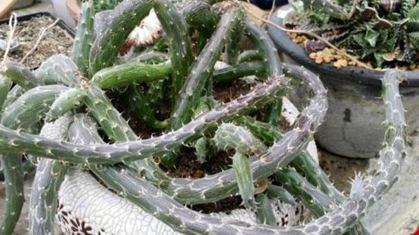 Kleinia pendula (Inch Worm) profile