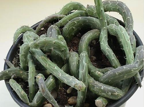 grow, propagate and care for Kleinia pendula (Inch Worm)