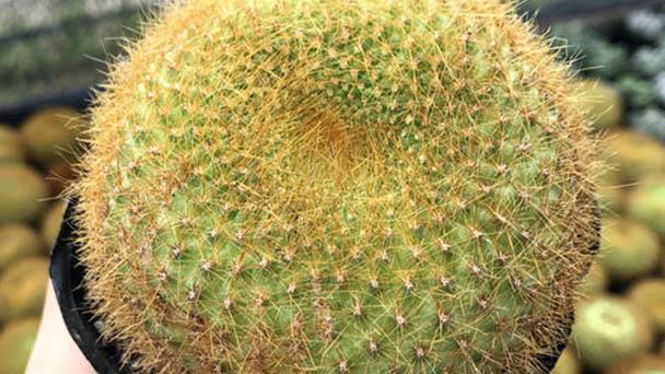 Notocactus graessneri profile