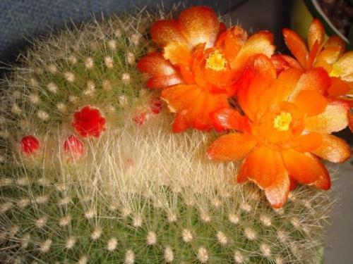 care for Notocactus graessneri