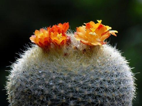 Notocactus graessneri