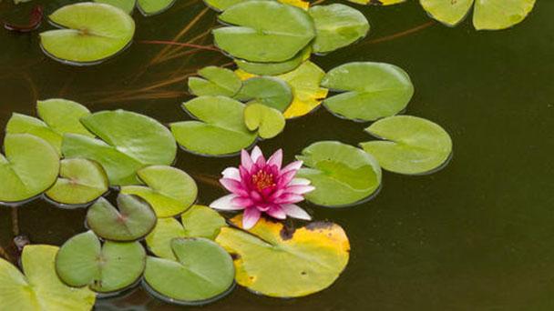 Pygmy water-lily profile
