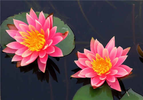 care for Pygmy water-lily in pots