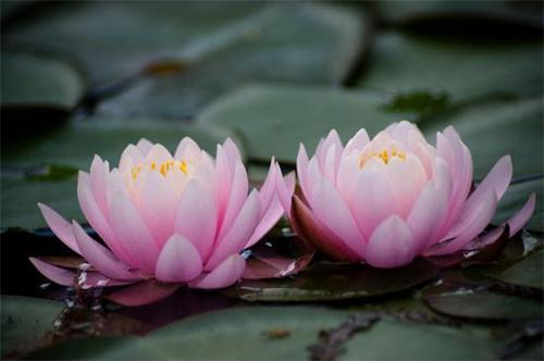 propagate Pygmy water-lily