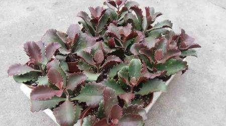 grow, propagate and care for Six-angled Kalanchoe