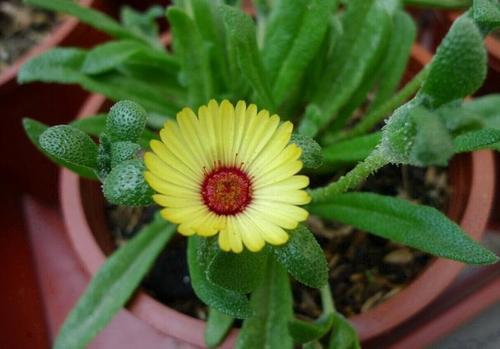 care for Trailing ice plants