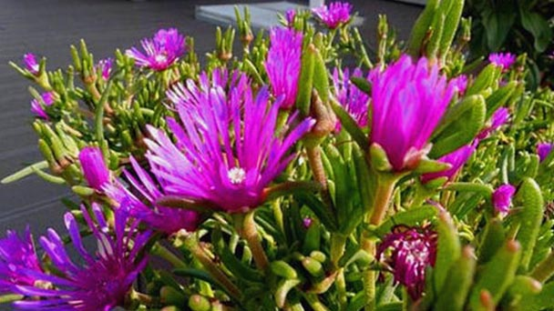 How to grow and care for trailing ice plant