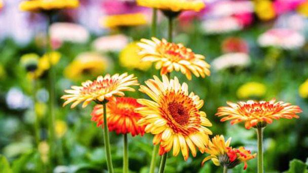 Transvaal daisy profile