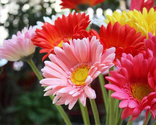 care for Transvaal daisy