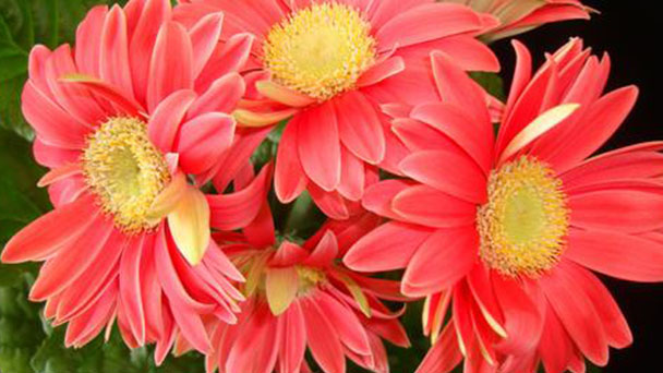 How to grow and care for Transvaal daisy