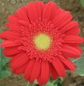 propagate Transvaal daisy