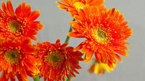 How to propagate Transvaal daisy