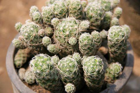 care for Old man cactus