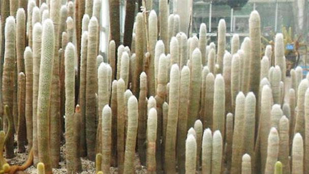 Old mans cactus care - growing Cephalocereus senilis