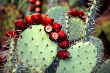 grow, propagate and care for tulip prickly pear