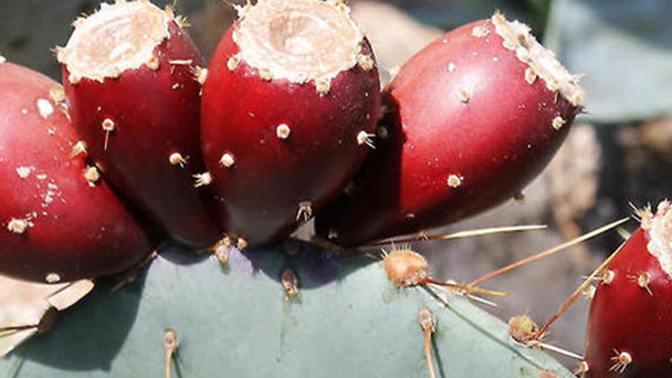 How to grow, propagate and care for tulip prickly pear