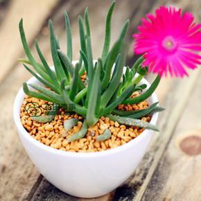 care for Cephalophyllum framesii