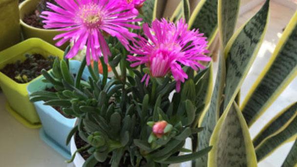 How to grow and care for Cephalophyllum framesii