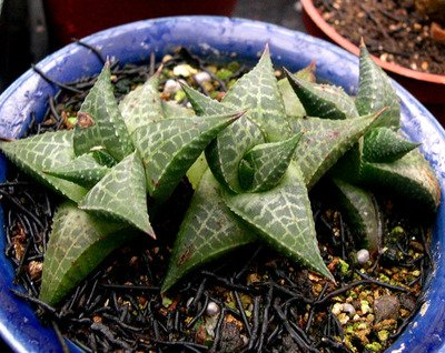 care for Haworthiopsis tessellata